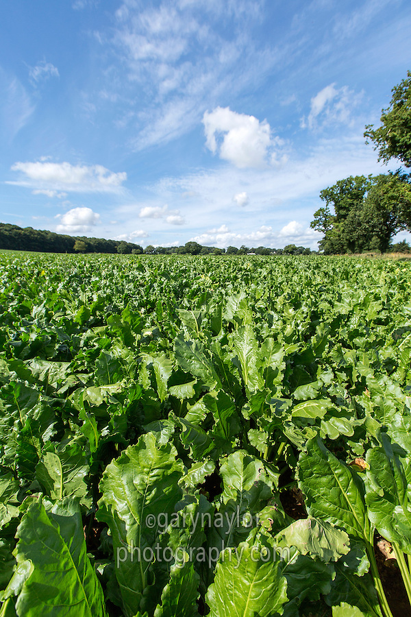 Sugar beet crop - Norfolk, August