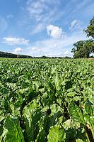 Sugar beet crop - Norfolk, August