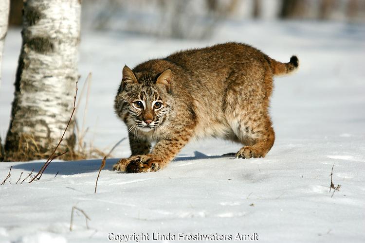 Bobcat (Lynx rufus) with prey under his foot.  Winter.  Minnesota.