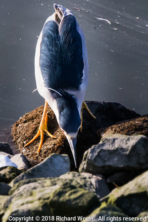 A Black-crowned night heron stares into the shadows, patiently waiting for movement that will signal prey, food, on the rocky shoreline at the San Leandro Marina on San Francisco Bay.
