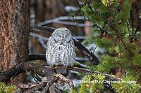 01128-00210 Great Gray Owl (Strix nebulosa) Yellowstone National Park, WY