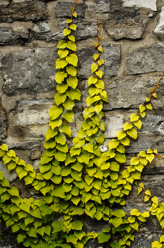 Canada, Montreal, Stone wall with ivy