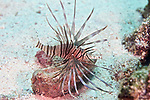 Pterois volitans, Lionfish, Turneffe, Belize, behavior, feeding