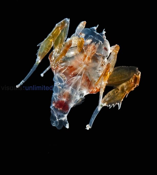 Deep sea Hyperiid Amphipod (Phrosina semilunata)