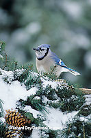 01288-02411 Blue Jay (Cyanocitta cristata) on fence with holiday greenery in winter, Marion Co.  IL