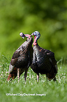 00845-07002 Eastern Wild Turkeys (Meleagris gallopavo) jakes in field, Holmes Co., MS