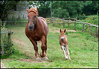 BNPS.co.uk (01202 558833)<br /> Pic: TomWren/BNPS<br /> <br /> Lilly-Rose and her mum Abby-Rose.<br /> <br /> Newborn horse packs a punch...<br /> <br /> This adorable foal which is rarer than the giant panda and the black rhino is bringing new hope to its critically endangered breed.<br /> <br /> Little Lilly-Rose was born at the Dorset Heavy Horse Centre in Verwood, Dorset, earlier this month and is a Suffolk Punch.<br /> <br /> The native breed of heavy horse is ranked critically endangered by the UK Rare Breeds Survival Trust and the latest figures show the number of registered breeding mares dropped 45 per cent this year to just 73.<br /> <br /> New foals need to be born if the breed is to stand any chance of surviving and staff at the centre hope Lilly-Rose will be able to join the breeding programme when she's older.