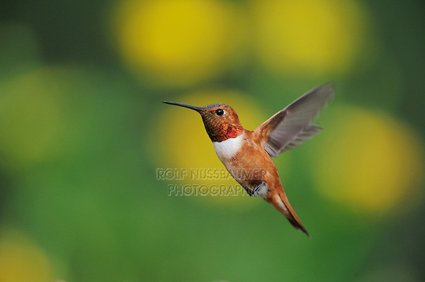 Rufous Hummingbird (Selasphorus rufus), male in flight, Gila National Forest, New Mexico, USA