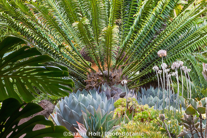 Cycad (Encephalartos sp.) prehistoric tropical plant growing over succulent border in Don Worth California garden