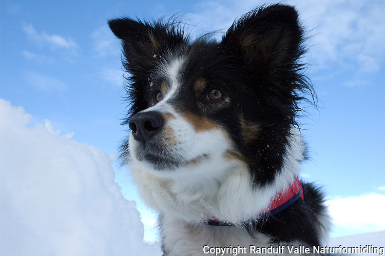 Border collie i snø ---- Border collie in snow