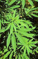 Gewöhnlicher Hanf, Echter Hanf, Cannabis sativa, Hemp, Marijuana, Hasch, Haschisch, Droge, Drogenpflanze, Rauschpflanze