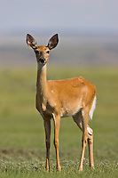 Red-tailed deer standing on a prairie butte
