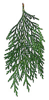 Sawara Cypress Chamaecyparis pisifera (Cupressaceae) HEIGHT to 24m. Evergreen, recalls Lawson's Cypress but with finer, paler foliage, and more open crown. BARK Reddish-brown, peeling in vertical strips. BRANCHES Mostly level. LEAVES Scale-like with white marks on undersides; resinous scent when crushed. REPRODUCTIVE PARTS Male flowers are small brownish cones, female flowers are paler brown, growing in clusters at shoot tips. Wrinkled, pea-like cones are 6-8mm across and hidden among foliage. STATUS AND DISTRIBUTION Native of mountain woodlands in Japan.