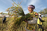 A woman harvests rice in the Cambodian village of O Kroich, where residents are members of the Kouy indigenous group. This woman participates in a rice bank sponsored by the Community Health and Agricultural Development program of the Methodist Mission in Cambodia.