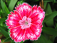 Intricate delicate elaborate beautiful petals of hot pink Sweet William flower.