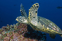 Hawksbill turtle (scientific name: Eretmochelys imbricata), Galapagos archipelago, Ecuador, east Pacific Ocean This is a critically endangered sea turtle.