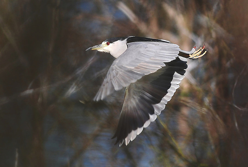A Black-crowned Night-Heron leaps from a branch at Mitchell Lake Audubon Center outside of San Antonio, Texas, on Dec. 16. 2007.