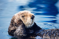 southern sea otter, enhydra lutris nereis, resting, note limbs are kept uot of water to keep warm, monterey, california, USA, pacific ocean, national marine sanctuary, endangered species