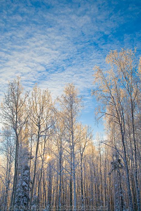 Sunrise over a boreal forest of mixed Birch and Aspen trees, Fairbanks, Alaska