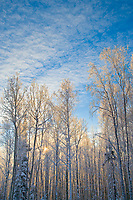 Sunrise over a boreal forest of mixed Birch and Aspen trees, Fairbanks, Alaska
