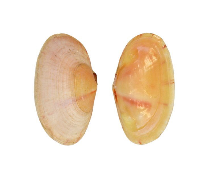 Gari tellinella Length to 17mm. Colourful, delicate bivalve mollusc. Lives in sand. Mainly sublittoral. In Britain fouind mainly in W and N.