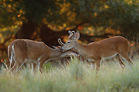 Whitetail bucks in a show of 'Brotherly' love..