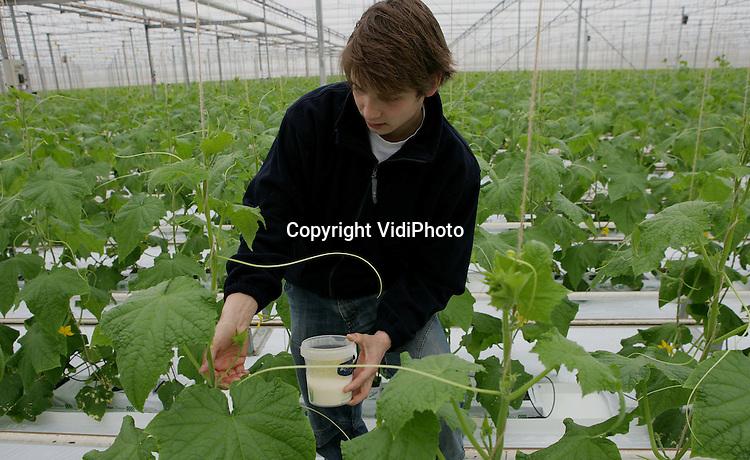 Foto: VidiPhoto..OOSTERHOUT - Bij komkommerteler Frank Selman worden eerst de vingers met melk ontsmet voordat een nieuwe plant wordt aangeraakt.