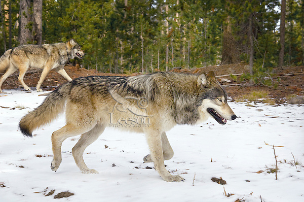 Wild GRAY WOLVES (Canis lupus) traveling through territory.  Greater Yellowstone Ecological Area.  Fall.