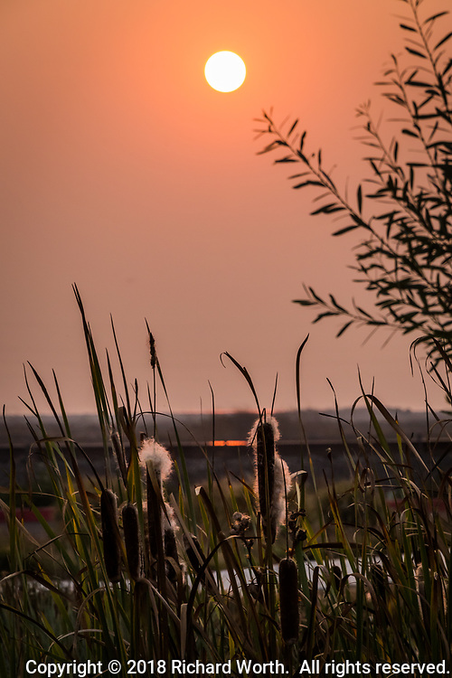 Cattails with escaping seed fluff under a  sun glowing smoke-red, from a wildfire 180 miles away.  Evening at a neighborhood park in the San Francisco Bay area.