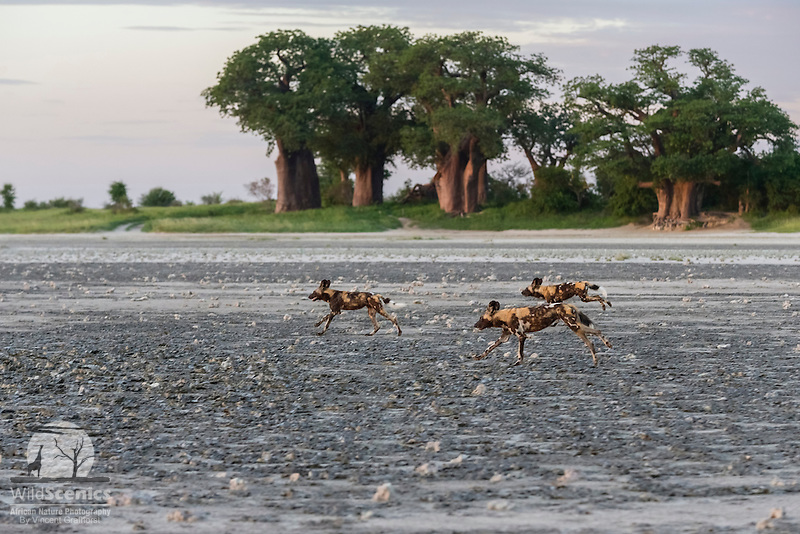 Wild dogs running across the open salt pan in front of the famous Baines' Baobabs
