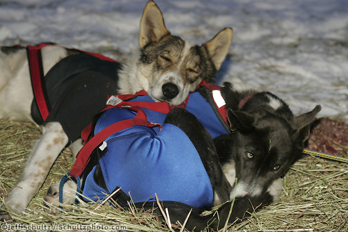 "Melanie Shirilla's dogs ""Cash"" and ""    rest at the Rainy Pass checkpoint on Tuesday morning. 2005 Iditarod Trail Sled Dog Race."