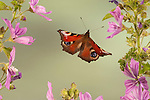 Peacock Butterfly, Inachis io, In flight, free flying, High Speed Photographic Technique.United Kingdom....