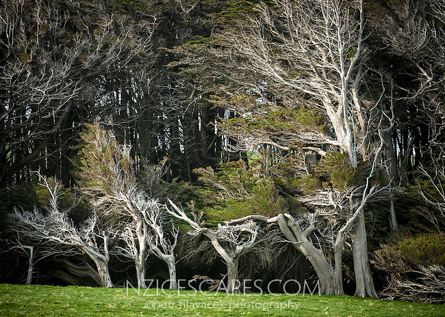Wind shaped Macrocarpa trees, Cupressus macrocarpa, at southern most corner of New Zealand Slope Point, Catlins, Southland, New Zealand