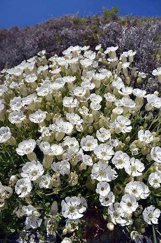 Sea Campion - Silene uniflora