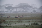 Zebras brace during a strong and sudden thunderstorm on the Serengeti Plain, Serengeti National Park,Tanzania.