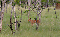 "Kakadu Wildlife. Dingo is a domestic dog which has reverted to a wild state for thousands of years and today lives largely independent from humans. <br /> <br /> The word most likely derived from the word ""tingo"" a term used by the aboriginal people to describe their camp dogs. Today they are shy towards humans.<br /> They hunt small mammals and are also known to scavenge on cattle and kangaroo carcasses, dead fish, peguins and washed up sea birds on the coast."