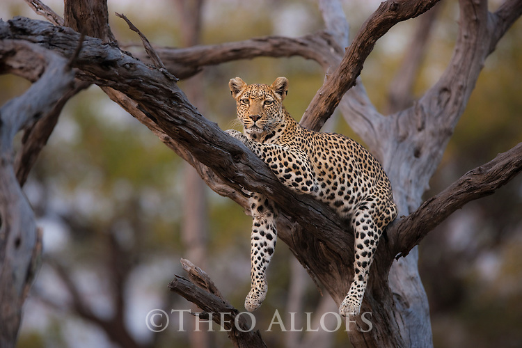 Botswana, Chobe National Park, Savuti, female leopard (Panthera pardus) lying on tree branch