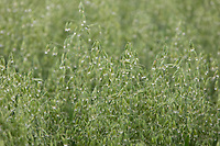 Oats<br /> ©Tim Scrivener Photographer 07850 303986<br />      ....Covering Agriculture In The UK....