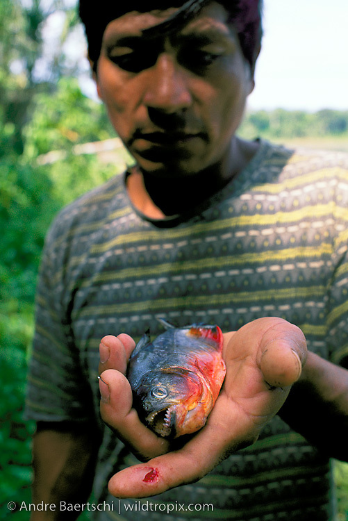 The razor-sharp teeth of this Red-bellied Piranha (Pygocentrus nattereri) have just ripped a large chunk of flesh from this fisherman's finger. Lowland tropical rainforest along the Rio Manu, Manu National Park, Madre de Dios, Peru.