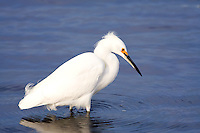 Snowy egret hunting fish