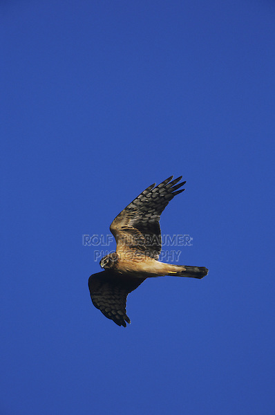 Northern Harrier (Circus cyaneus), female in flight, Sinton, Coastel Bend, Texas, USA