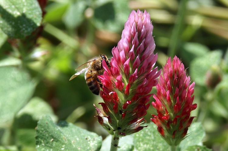 Red clover is one of the first mass blooming in the spring in North Florida and the honey bees love it.