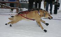 Saturday February 25, 2006 Willow, Alaska.  Jjunior Iditarod sled dogs charge down the start chute at the start day of the Junior Iditarod sled dog race.  Willow Lake.