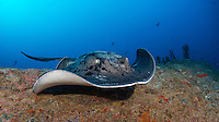 A Black Spotted Stingray, Taeniura meyeni, glides over a rocky reef.  Andaman Islands, India, Andaman Sea