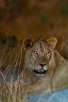 Female lions, Kwando Concession, Linyanti Marshes, Botswana.