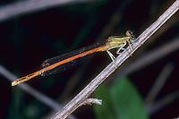 Orange Federlibelle, Platycnemis acutipennis, Orange Featherleg, Orange White-legged Damselfly, le Pennipatte orangé, l'Agrion orangé