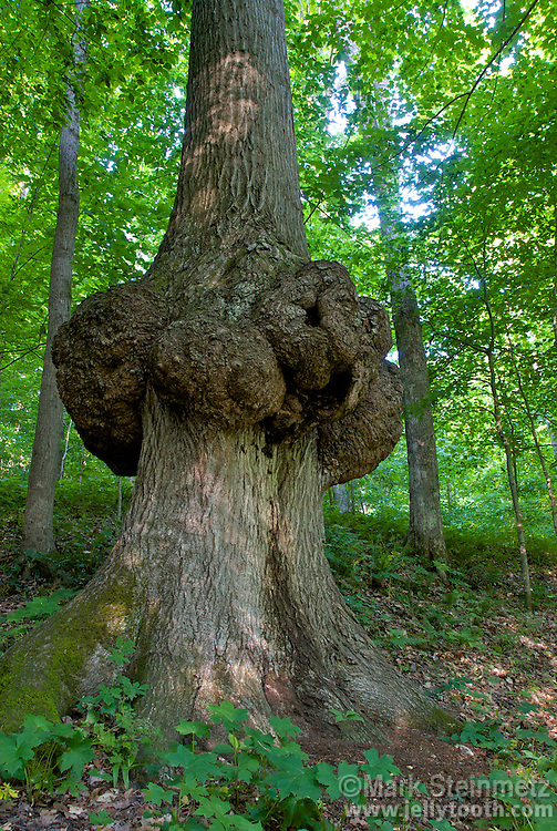 Massive burl or canker on a mature Northern Red Oak (Quercus rubra) in a temperate deciduous forest, Indiana, USA