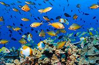 oval chronis, Chromis avalis, French Frigate Shoals, Papahanaumokuakea Marine National Monument, Northwestern Hawaiian Islands, USA, Pacific Ocean