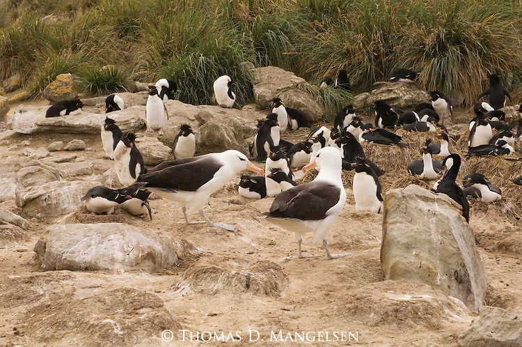 Rockhopper penguins and black-browed albatrosses on New Island in the Falkland Islands.