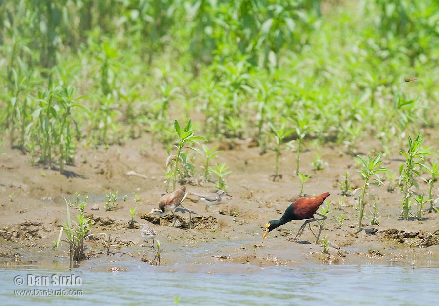 Northern jacana, Jacana spinosa, at the edge of a pond in Carara National Park, Costa Rica